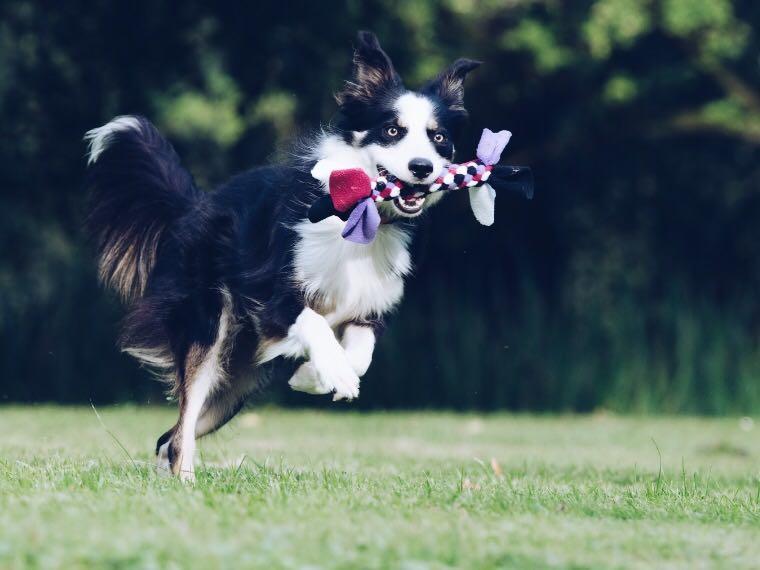 Dog playing fetch in lawn