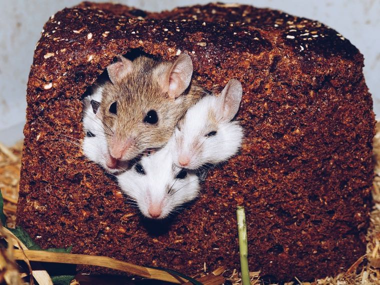 Mice eating a piece of bread